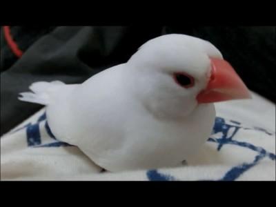 白文鳥のユキちゃん!こたつが大好き.mp4_20151013_120056.828