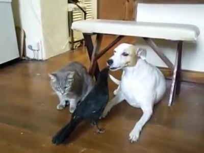 猫と犬とカラス カラスが犬に餌をあげる.mp4_20150930_125224.015