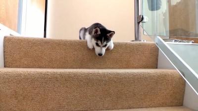 Cutest Husky Puppy - Husky vs stairs.mp4_20150927_204250.968