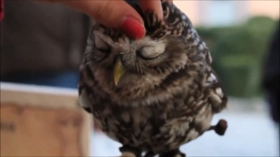 Cutest owl ever northern saw whet owl.mp4_20150913_191159.140