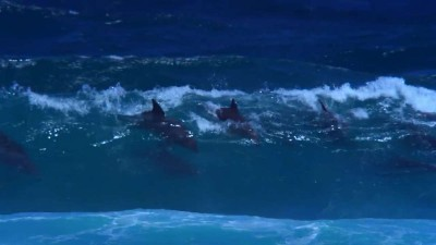 DOLPHIN SURFERS - HOW THEY CATCH A WAVE..mp4_20150918_113652.875