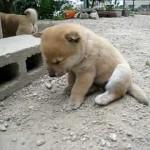 可愛いなぁ~。子犬が居眠りしてカックン!