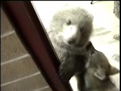 Grizly Bear Cub & Wolf Cub Playing.mp4_20151010_194127.781