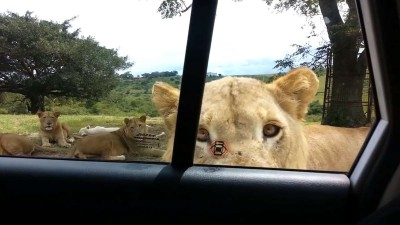 Lion opens car door.mp4_20150925_131605.640