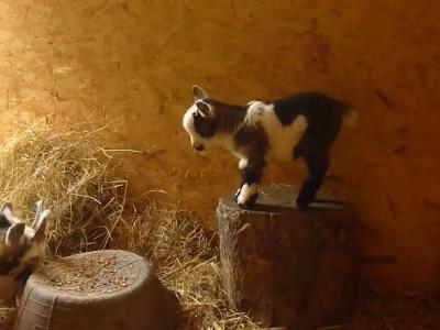 Pygmy goat kid playing.mp4_20151010_125142.406