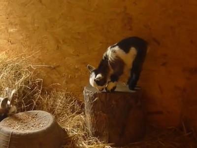 Pygmy goat kid playing.mp4_20151010_125423.093