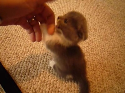 Scottish Fold munchkin.mp4_20151009_113011.312