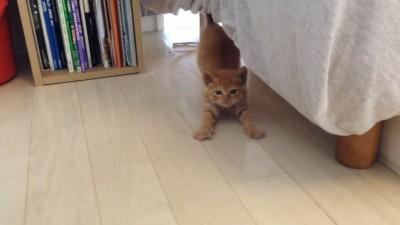 茶トラ子猫拾った翌朝 ベッドの下から恐る恐る可愛い↑↑.mp4_20150915_204226.921