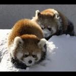 円山動物園の「雪で遊ぶレッサーパンダ〜Red Panda playing in the snow」