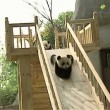 yt-2806-Cute-pandas-playing-on-the-slide