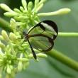 yt-3638-Greta-oto-a-beautiful-Glasswing-butterfly-Greta-oto-la-mariposa-de-alas-de-cristal