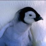 コウテイペンギンのヒナが卵から生まれる!