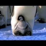 お母さんの足に乗って歩きを覚えるコウテイペンギンのヒナ