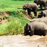 川で流された子象の救出