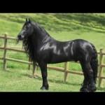 ロン毛が似合う馬界の男前「フリージアンスタリオン」