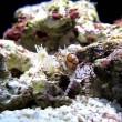 yt-3836-pom-pom-crab-dance