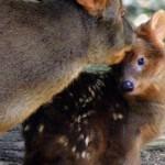 生まれて1日目。世界最小の鹿プーズーの可愛い赤ちゃん