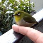 野生のメジロが指に乗ってくれた