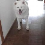 戻ってきた飼い主さんを見つけて大喜びの秋田犬