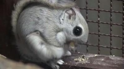 エゾモモンガの滑空訓練~Russian flying squirrel,Practice which flies.mp4_20151014_120300.031
