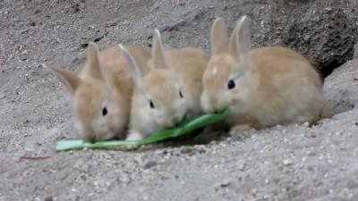 けしからん子うさぎ!@大久野島 Outrageous fluffy baby bunnies!!! @ rabbit island.mp4_20151005_215648.406
