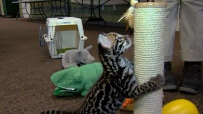 9 Week Old Ocelot Kitten Playing - Cincinnati Zoo.mp4_20151006_174243.000