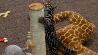 9 Week Old Ocelot Kitten Playing - Cincinnati Zoo.mp4_20151006_174541.906