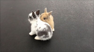 Cute Baby Bunnies on Trampoline   MinjiVanVlog.mp4_20151004_110803.046