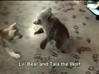 Grizly Bear Cub & Wolf Cub Playing.mp4_20151010_201015.984