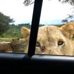 ライオンに車のドアを開けられた (゚д゚)!