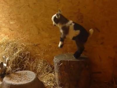 Pygmy goat kid playing.mp4_20151010_125255.828