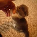 折れ耳、短足。だがそこがいい!ミックスの可愛い子猫