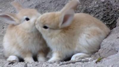 けしからん子うさぎ!@大久野島 Outrageous fluffy baby bunnies!!! @ rabbit island.mp4_20151005_215629.593