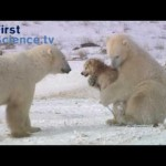 ホッキョクグマ(白くま)とイヌが遊ぶ風景