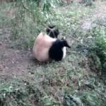 パンダ、興奮して前転(なんで?)