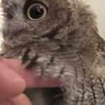 ちっちゃくてふわふわ!生後5ヶ月 フクロウのクウちゃん、水浴びから乾燥まで