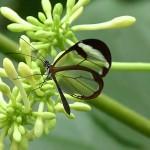 透明な羽を持つ蝶「グラスウィング・バタフライ」