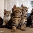 yt-3713-Funny-Cats-Choir-Dancing-Chorus-Line-of-Kittens