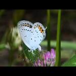 最近あまり見かけなくなった小さな蝶:シジミチョウ