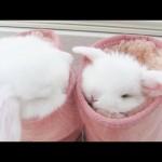 ふわふわの中でくつろぐ綿菓子のようなうさぎの赤ちゃん