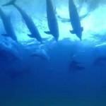 サーフィンして遊ぶイルカ達