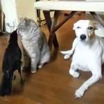 賢いカラスが猫と犬にエサをあげてます