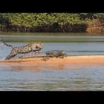 知らなかった!ジャガーがクロコダイルを襲うとは!
